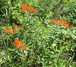 Butterfly Milkweed At Sellars Farm