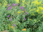 Ironweed, goldenrod, and butterfly milkweed.