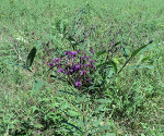 Ironweed blooming at Sellars Farm