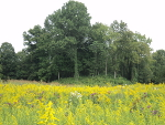 The platform mound at Sellars Farm, floating in a sea of goldenrod.